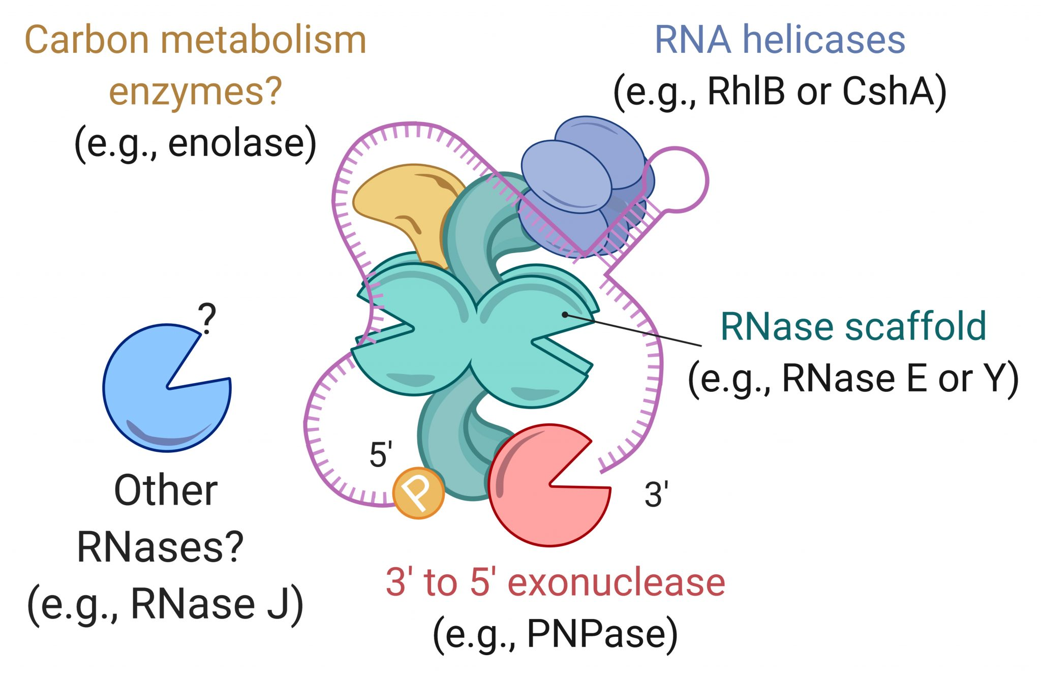 RNA degradosome