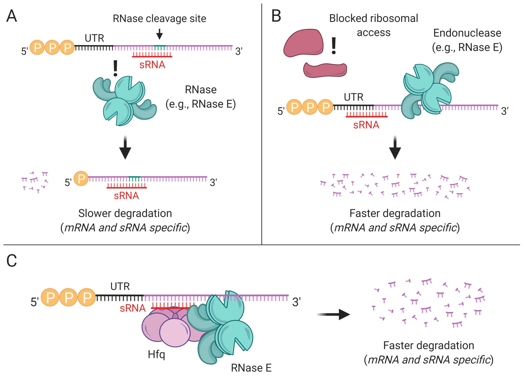 RNA stabilization or degradation mechanisms